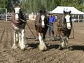 Horse pulling spike harrows.jpg