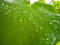 Viticulture (rain drops on grapevine leaf).jpg